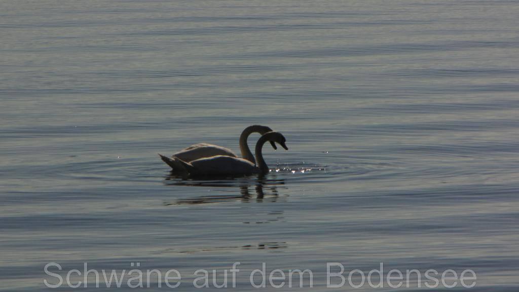 Schwanenpaar auf dem Bodensee